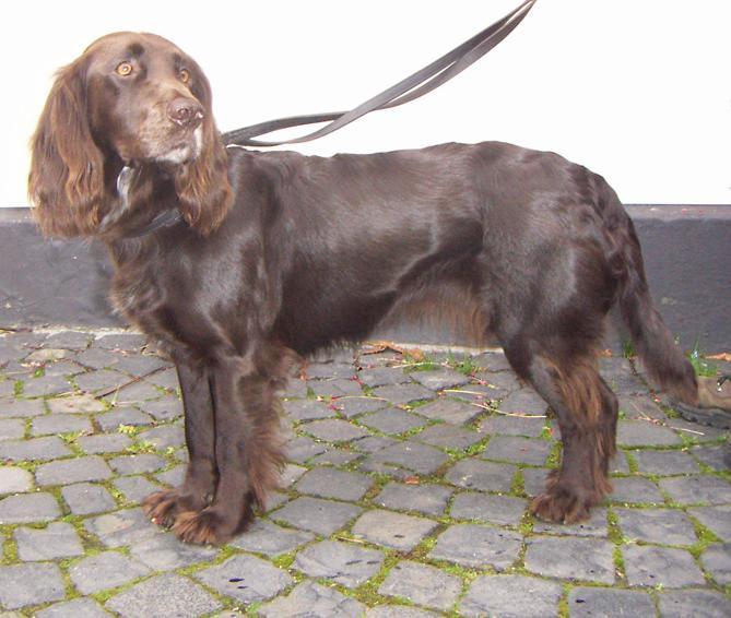 Немецкий спаниель :: Перепилиная собака :: Вахтельхунд