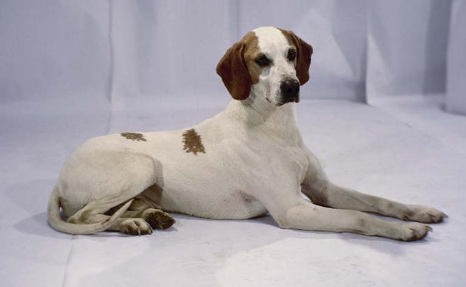 Фото Мягкошерстная истрийская гончая :: Smooth-haired istrian hound