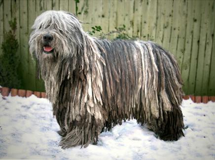 Бергамская пастушья собака