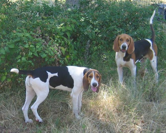 Фото Триин-уокер кунхаунд :: Treeing walker coonhound