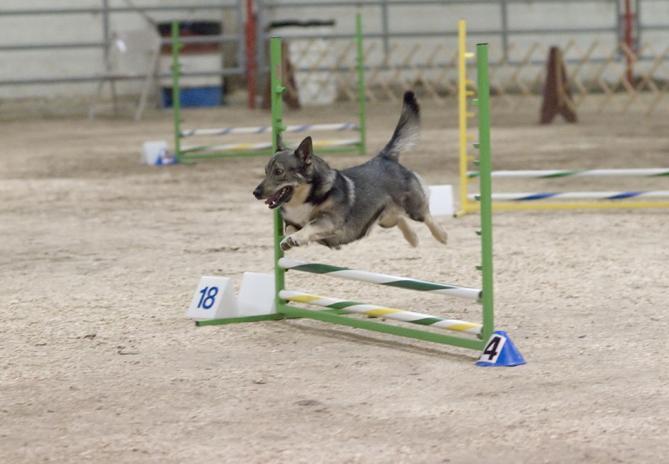 Шведский вальхунд :: Вестготская собака :: Swedish Vallhund