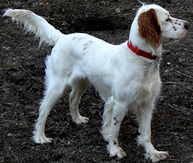 Энциклопедия - Породы собак - Охотничьи собаки
