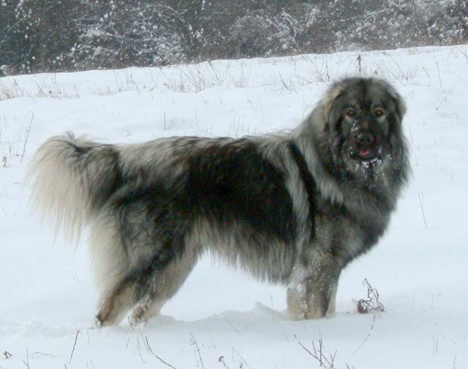 Фото Иллирийская овчарка :: Charplaninatz, Sar Planina