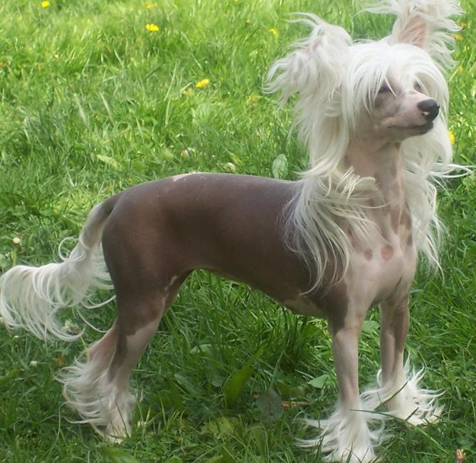 Фото Голая собачка :: Hairless dog