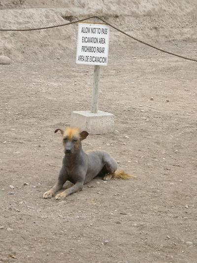 Мексиканская голая собачка :: Ксолоитцкуинтли