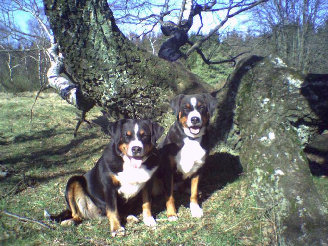 Фото Аппенцельская горная собака :: Appenzeller Mountain Dog