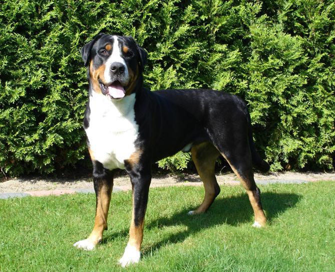 Фото Большая бернская пастушья (горная) собака :: Большой швецарский зененхунд