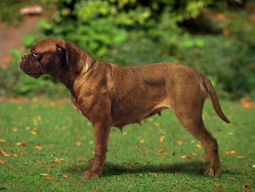 Французский мастиф :: Бордосский дог :: Dogue de Bordeaux