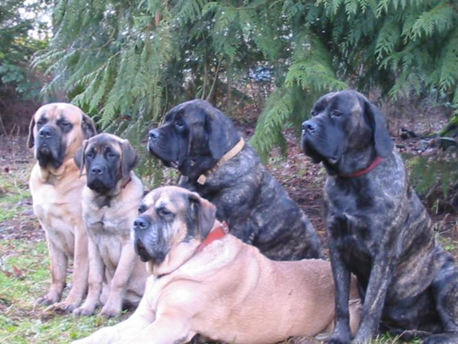 Мастиф :: Old English mastiff