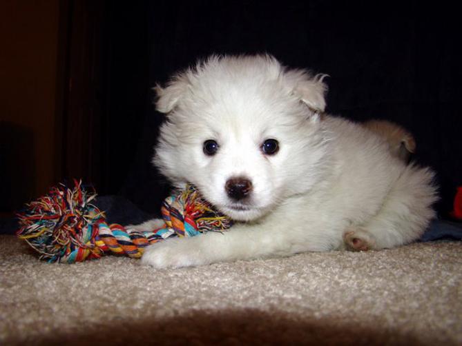 Эскимосская собака