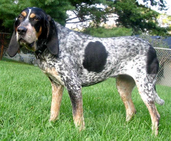 Голубой кунхаунд :: Bluetick coonhound