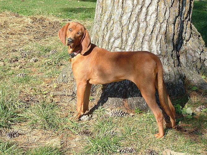 Фото Редбон-кунхаунд :: Redbone coonhound