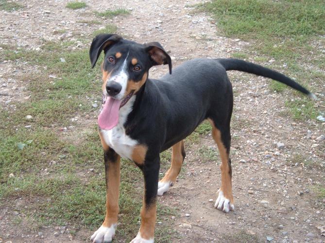 Фото Трансильванская гончая :: Transylvanian hound
