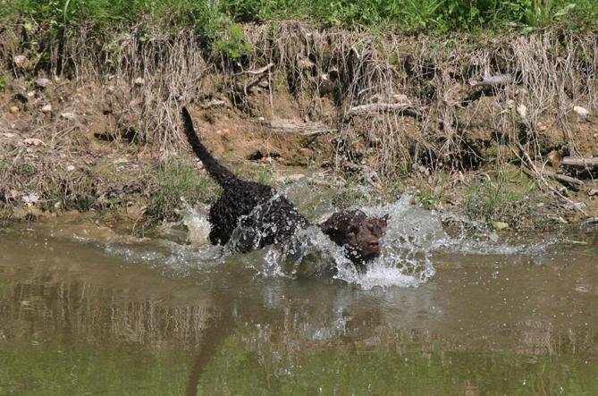 Фото Американский водяной спаниель