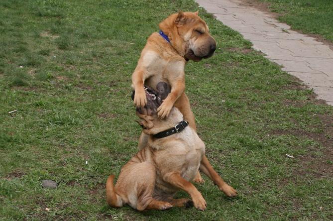 Шар-пей :: Китайская бойцовая собака