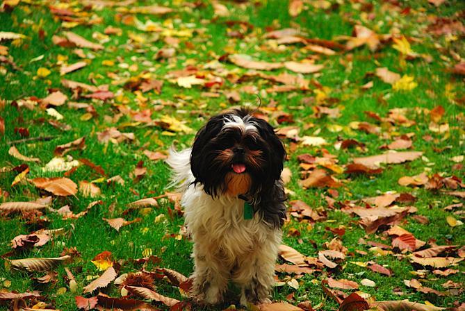 Ши-тцу :: Собачка-хризантема