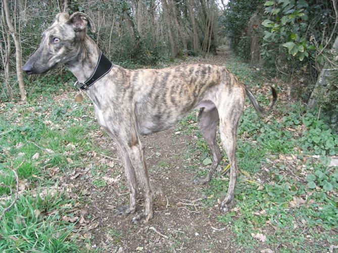Фото Испанская борзая :: Spanish greyhound