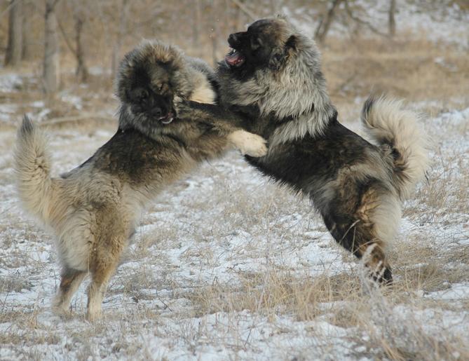 Фото кавказская овчарка