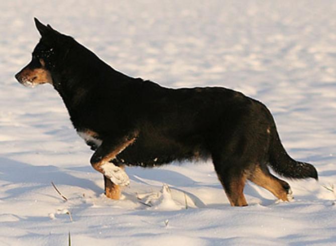 Лапландская пастушья собака :: Лапландский вальхунд