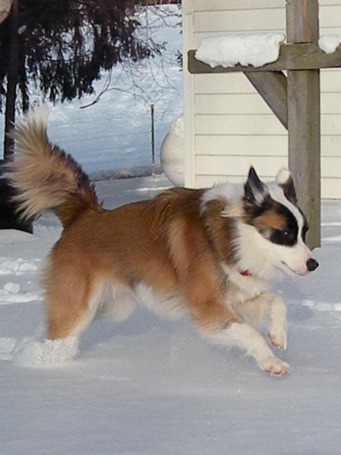Фото Исландская собака :: Исландская овчарка