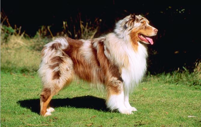 Австралийская овчарка :: Australian shepherd