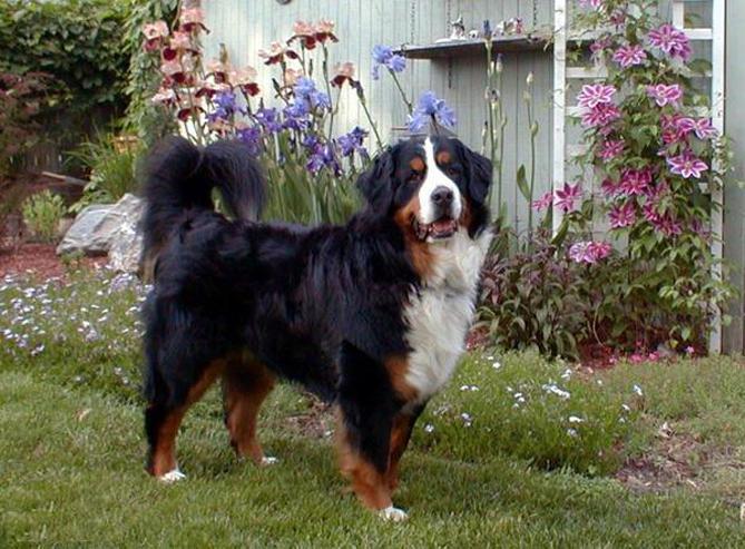 Фото Бернская пастушья (горная) собака :: Бернский зенненхунд