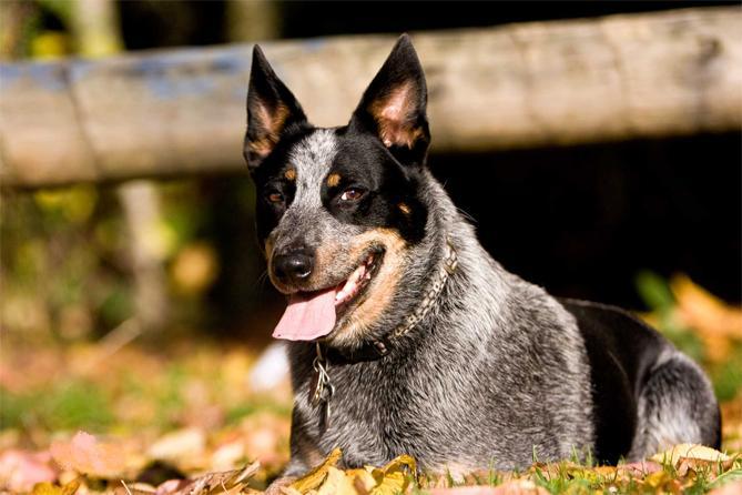 Австралийская пастушья собака :: Australian cattle dog