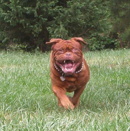 Французский мастиф :: Бордосский дог :: Dogue de Bordeaux